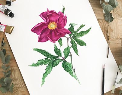 Watercolor botanical illustration: Peony.