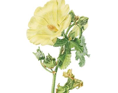 Alcea rugosa. Botanical illustration