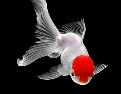 Red hat goldfish