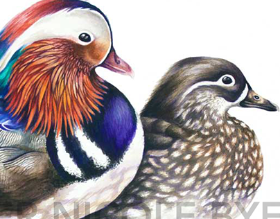 Mandarin Duck Couple Illustration