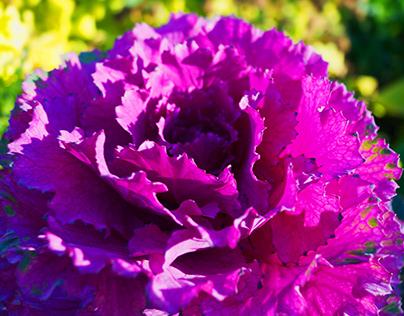 Decorative cabbage.