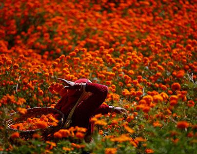 Marigold Flowers in Nepal