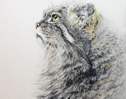 Pencil drawing and watercolor - pallas cat