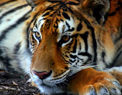 Tiger ♥