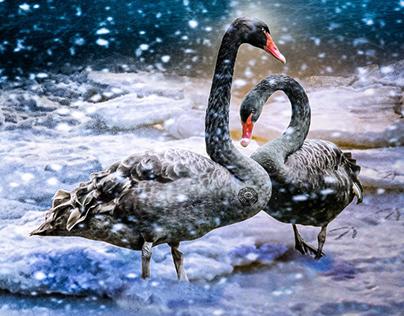 The Dharma Swan