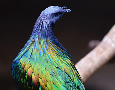Beautiful Nicobar Pigeon Picture