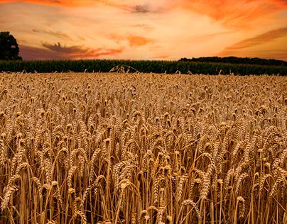 Wheat-field Germany 2021.