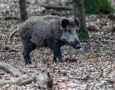 Wild Boars !!!