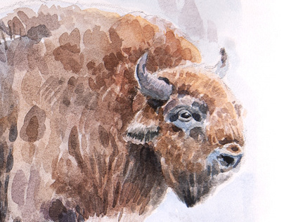 European bison, watercolor 2019