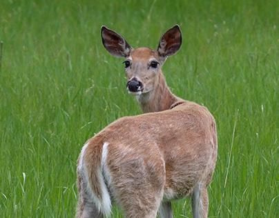 Deer of the Black Hills, SD