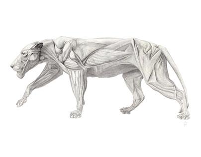 Lion's muscles