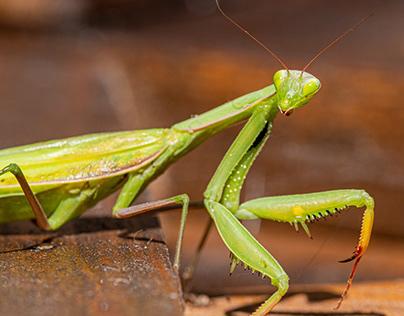 Mantis Petro