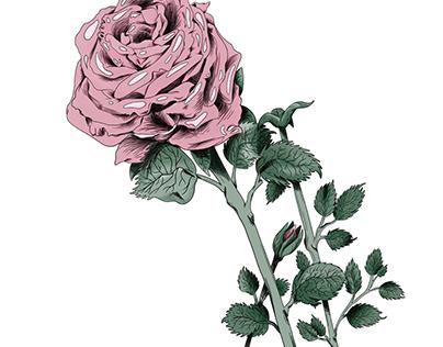 Ecuadorian Rose