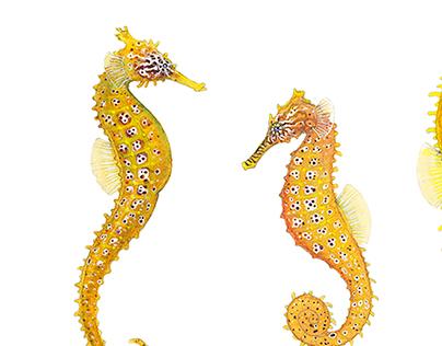 Pacific Seahorses