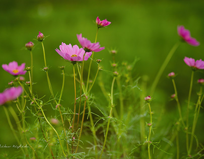 COSMOS IN KAO TOWN