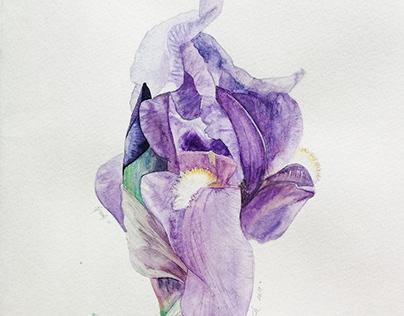 Iris versicolor | Schmincke
