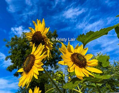 September sunflowers in Summer