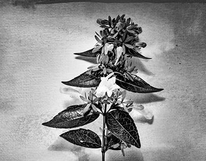 flowers bnw