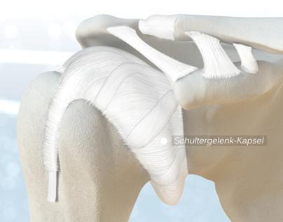 Shoulder. Anatomy, pathologies, treatments