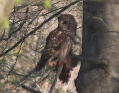 A Visitor - Barred Owl