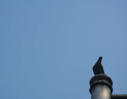 Animal Photography - A Resting Dove