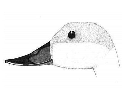Pato, Duck.