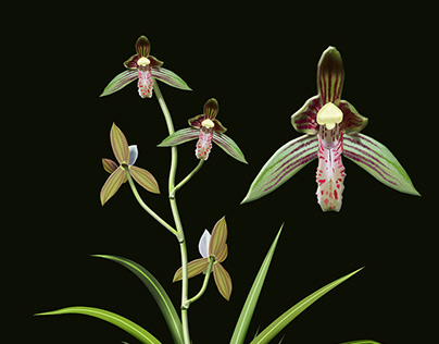 Cymdidium ensifolium
