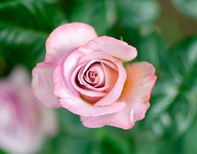 Photo : Rose