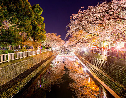 2019 Night photo of Cherry Blossom