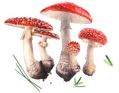Illustration of Amanita muscaria