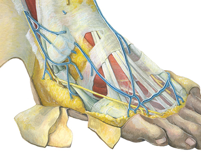 Dissection —lateral view of the foot