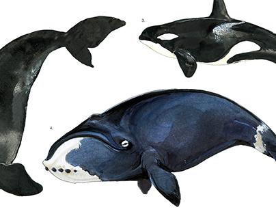 Cetacea (whales) illustration