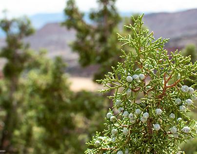 Colorado Juniper Tree