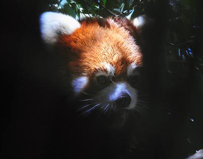 Red Panda Peek