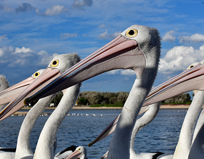 My Favourite Pelican photos taken at The Entrance!