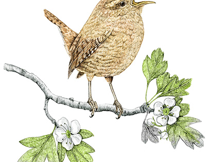 Bird illustration, Eurasian Wren