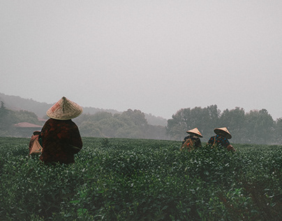 West Lake Longjing Tea Picking