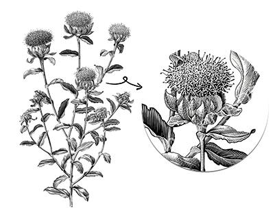 Sufflower botanical vintage illustration for research