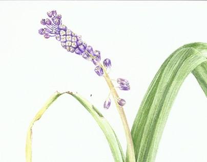 Leopoldia comosa,L.-Liliaceae