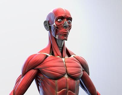 Ecorche - Anatomical Study