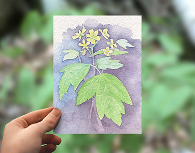 Spring Ephemerals Illustrations