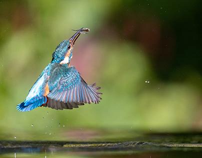 Kingfisher fishing...
