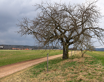 Apple tree by the road