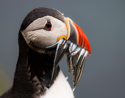 Grímsey - a Puffin Paradise on the Arctic Circle