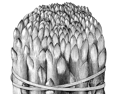 Asparagus drawing vintage style