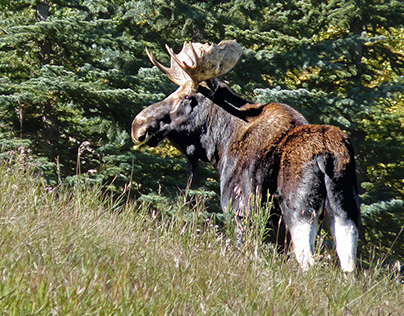 Bull Moose, Bearspaw, Alberta