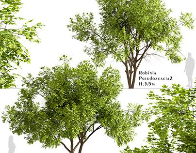 Set of Robinia Pseudoacacia Trees (Black Locust)