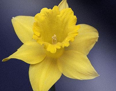Daffodil Flower Macro HD Wallpaper 1920x1080