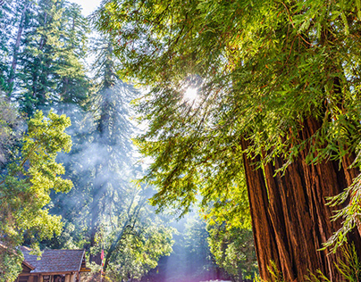 homage to the redwoods
