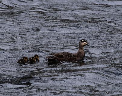 Pacific Black Ducks